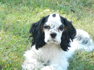 Cocker Spaniel Puppy For Sale in BEECH ISLAND, SC