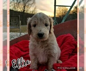 Goldendoodle Puppy for Sale in MOUNT VERNON, Kentucky USA