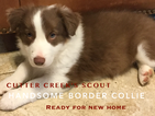 Border Collie Puppy For Sale in WILLS POINT, TX