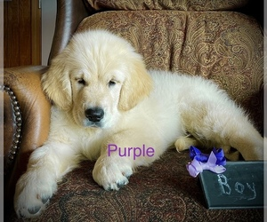 Golden Retriever Dog for Adoption in RUSSIAVILLE, Indiana USA