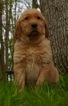 Golden Retriever Puppy For Sale in WARSAW, Indiana,