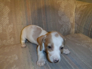 Dachshund Puppy For Sale in DELTA, CO, USA