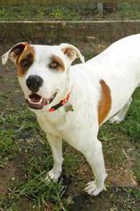 Danno - Pit Bull Terrier Dog For Adoption