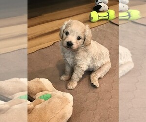 Goldendoodle (Miniature) Puppy for sale in BURLEY, ID, USA