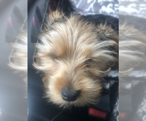 Yorkshire Terrier Puppy for sale in HENRICO, VA, USA
