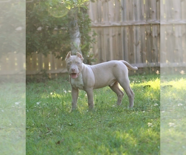 PuppyFinder com - View Ad: Photo #2 of Listing American Pit