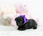 Small #3 Pomeranian-Poodle (Toy) Mix