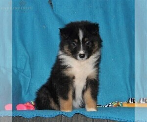 Australian Shepherd Puppy for sale in HOLTWOOD, PA, USA