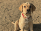 Labrador Retriever Puppy For Sale in ATWATER, CA, USA