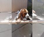Small #3 Basset Hound