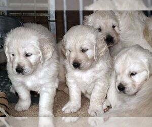 Golden Retriever Puppy for Sale in FOWLERVILLE, Michigan USA