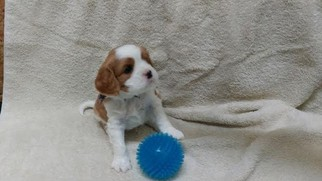 Cavachon Puppy For Sale in SHOW LOW, AZ