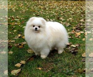 Mother of the Pomeranian puppies born on 09/15/2020