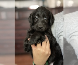 Labradoodle Puppy for sale in N HIGHLANDS, CA, USA