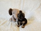 Shorkie Tzu Puppy For Sale in LOS ANGELES, CA, USA