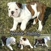 Olde English Bulldogge Puppy For Sale in BELLE CENTER, Ohio,