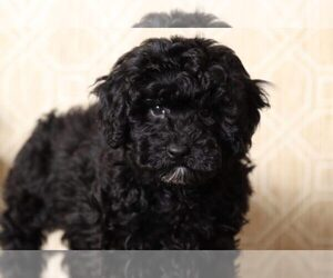 Poodle (Miniature) Puppy for sale in EL CAJON, CA, USA