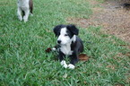 Border Collie Puppy For Sale in ORLANDO, FL