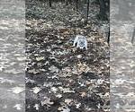 Small Photo #28 Wolf Hybrid Puppy For Sale in FILLMORE, LA, USA