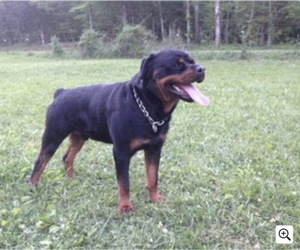 Father of the Rottweiler puppies born on 08/30/2021