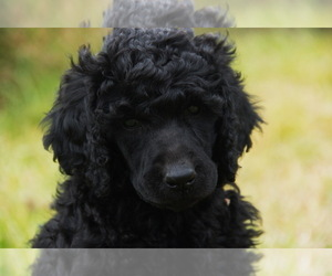 Poodle (Standard) Puppy for Sale in MARROWSTONE ISLAND, Washington USA