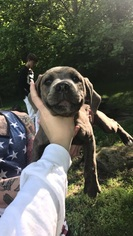 Cane Corso Puppy For Sale in GOODLETTSVILLE, TN