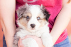 Miniature Australian Shepherd Puppy For Sale in GOODWELL, Oklahoma,