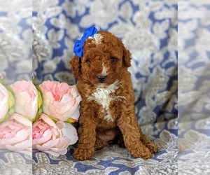Miniature Labradoodle Puppy for sale in COCHRANVILLE, PA, USA