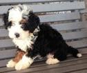 Puppy 6 Miniature Bernedoodle
