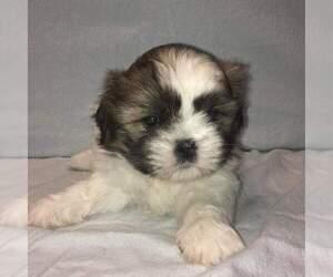 Shih Tzu Puppy for Sale in MILWAUKEE, Wisconsin USA