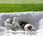 Small #19 English Bulldog
