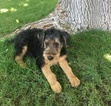 Airedale Terrier Puppy For Sale in PHOENIX, AZ, USA