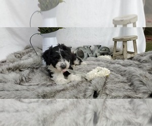 Aussie-Poo-Aussiedoodle Mix Puppy for sale in COLLEGE STA, TX, USA