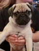 Pug Puppy For Sale in DOWNEY, CA, USA