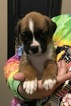 Boxer Puppy For Sale in PETERSBURG, VA,