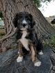 Aussiedoodle Puppy For Sale in MONTROSE, CO, USA