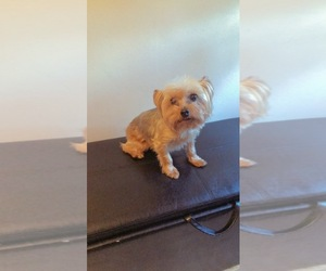 Yorkshire Terrier Puppy for sale in BALTIMORE, MD, USA