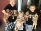 Goldendoodle Puppy For Sale in PLEASANTVILLE, IA, USA