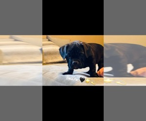 American Bully Puppy for Sale in MIDDLETOWN, Ohio USA