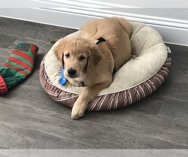 View Ad: Golden Retriever Puppy for Sale near Belgium