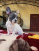 French Bulldog Puppy For Sale near 01529, Millville, MA, USA