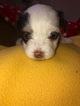 Puppy 5 Havanese