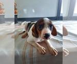 Puppy 5 Cavalier King Charles Spaniel-Rat Terrier Mix