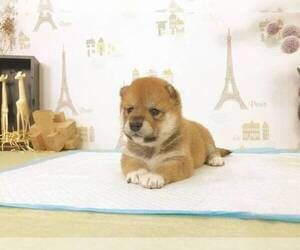 Shiba Inu Puppy for sale in CHINO HILLS, CA, USA