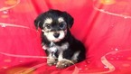 Maltese-Morkie Mix Puppy For Sale in SAN FRANCISCO, CA, USA