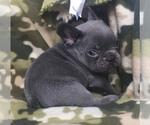 Small #25 French Bulldog