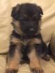 German Shepherd Dog Puppy For Sale in AUBURN, WA