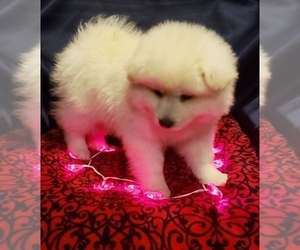 American Eskimo Dog Puppy for sale in GILBOA, OH, USA