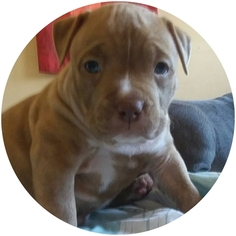 American Pit Bull Terrier Puppy for sale in KILLEEN, TX, USA