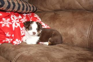 Miniature Australian Shepherd Puppy For Sale in DALE, TX, USA